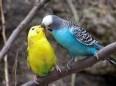 mıabbet kuşu
